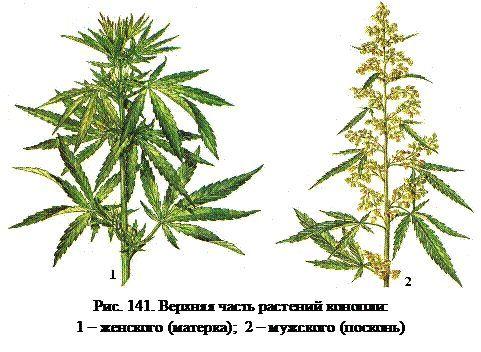 Відмінність чоловічих і жіночих рослин конопель