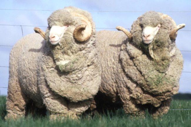 Вівці мериноси