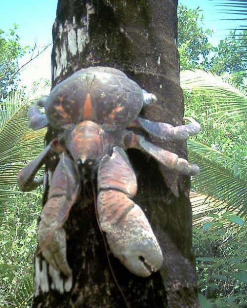 Пальмовий злодій (birgus latro) або кокосовий краб