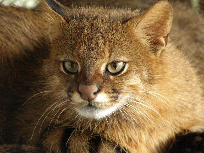 Пампасская кішка (Leopardus colocolo).