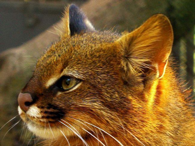 Місцева назва кішки - дзвони - дало ім`я арауканскому вождю дзвони