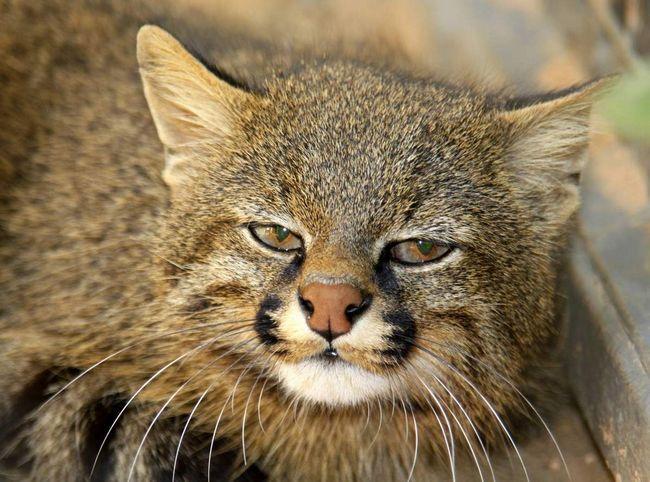 Всього було описано сім підвидів цієї тварини.