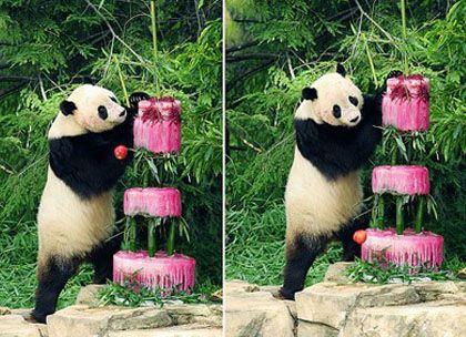 ПандаТай Шань святкує свій четвертий день народження