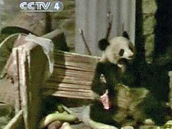 Дика велика панда