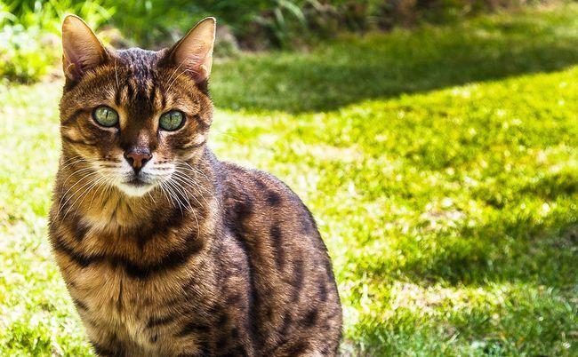 Панкреатит у кішок: симптоми і лікування