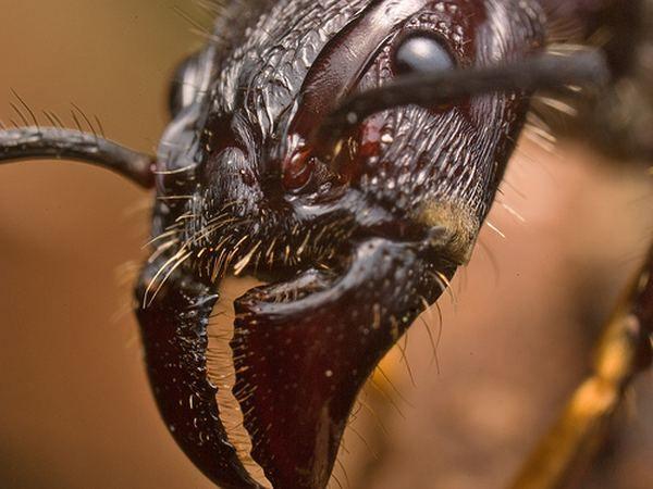 Paraponera clavata, або мураха-куля