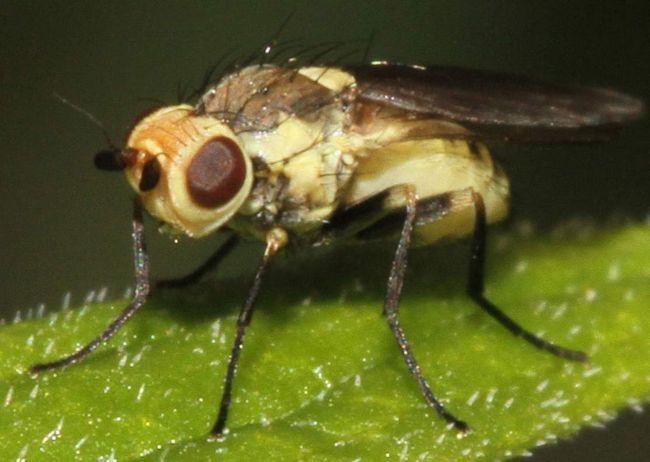 Мухи невеликого розміру (самки - 2,0-2,3 мм, самці - 1,5 мм).