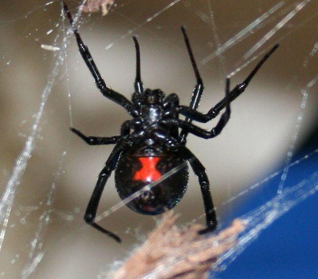 Павук чорна вдова