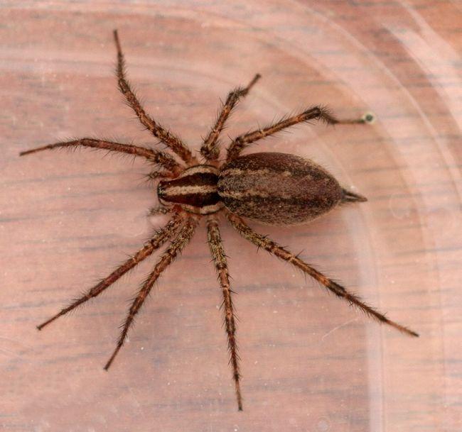 Павук відлюдник