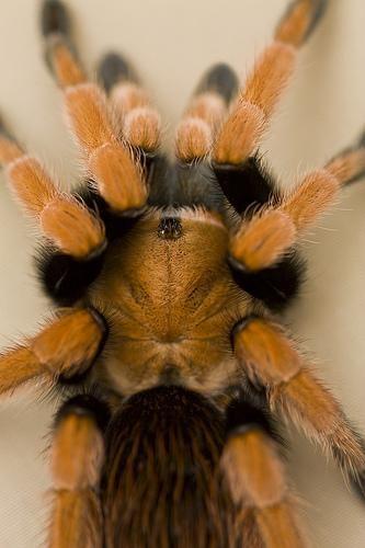 Павуки-птахоїди або павуки-птицеяди (theraphosidae)