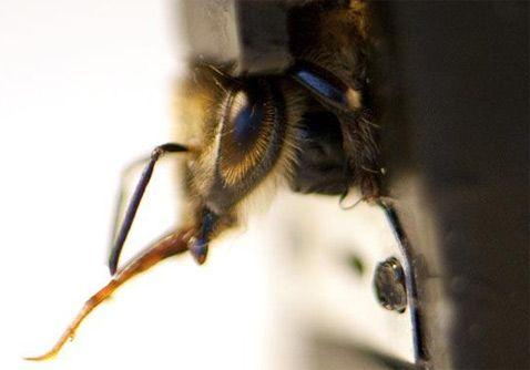 Коли бджола відчуває знайомий запах - вона висовує язичок і обмацує їм поверхню в пошуках сиропу. Ця дія відбувається у комахи неконтрольовано, на рівні рефлексів, і відмінно підходить для визначення того, чи знайшла бджола що-небудь (фото Louise Murray / Rex Features).