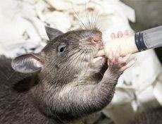 Використання тварин в якості детекторів шкідливих речовин сягає своїм корінням у вікопомні часи. Та ж сама канарка в шахті давно вже стала притчею во язицех. Ми теж неодноразово розповідали про подібне залучення