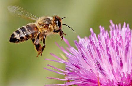 Бджола картинки для дітей