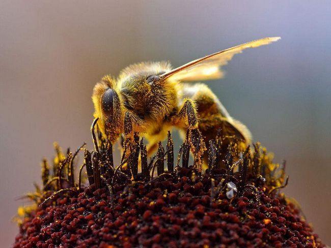 Мати-бджола вакцинує своїх дітей.