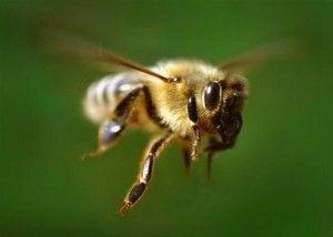 Бджільництво для початківців або як стати успішним бджолярем