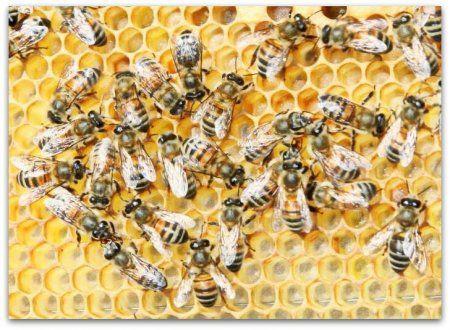 Бджоли породи бакфаст