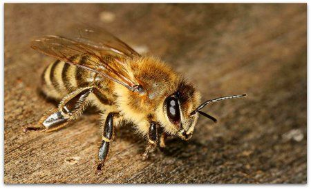 Бджоли породи карника