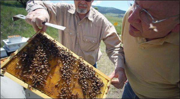 Бджіл вбиває зв`язка грибка і вірусу