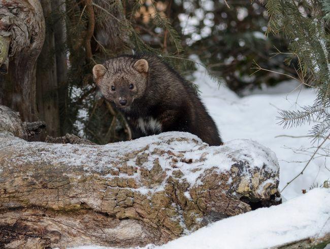 На глибокому снігу пекан іноді нападають і на більших тварин - молодняк оленів.