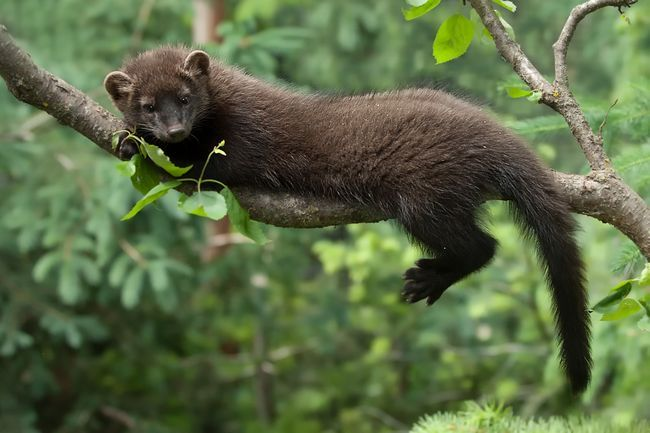 Якщо це тварина потребує відпочинку, то перевагу віддає прихованим місцях.