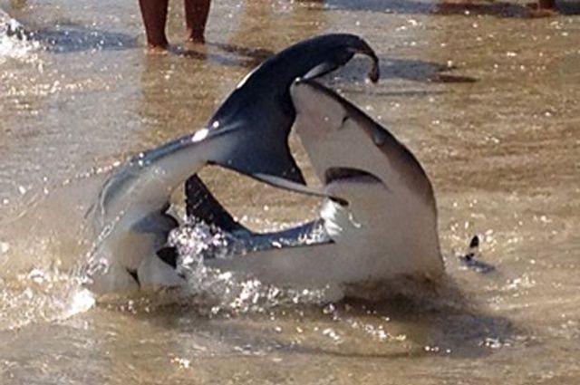 Двометрова хижачка підпливла близько до дітей на мілководді (фото: Channel 9 News)