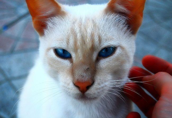 Чи передаються глисти від кішок людині?
