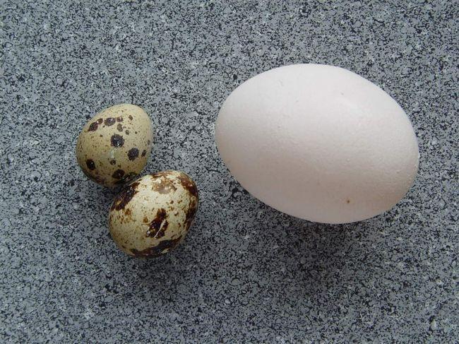 Перепелині яйця в порівнянні з курячими.