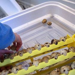 Інкубація яєць перепелів в домашніх умовах