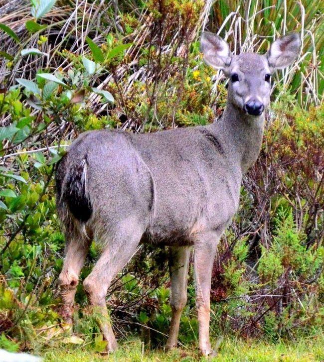 У перуанського оленя жорсткий і густе хутро.