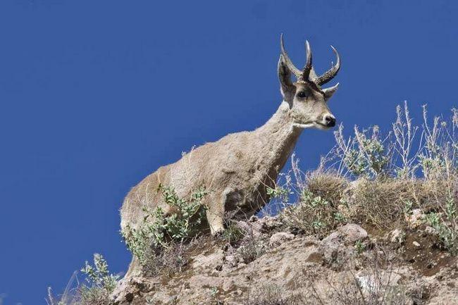 В Аргентині на низьких висотах перуанський олень поширюється у вологих лісових смугах.