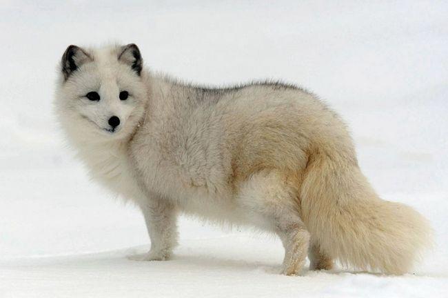 Песець, або полярна лисиця