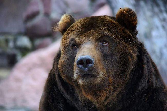 Ведмідь злякався пісні про зайців.