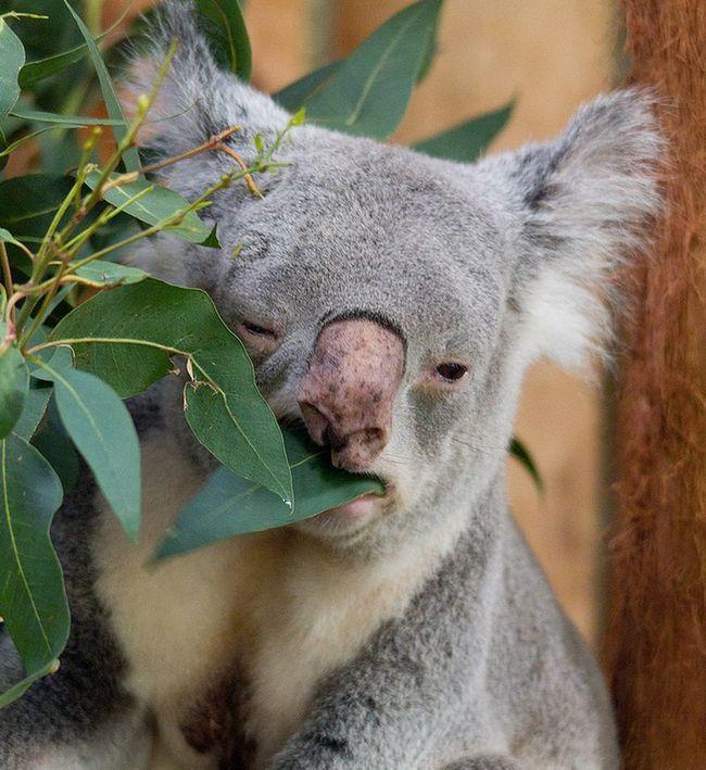 Чи п`є коала воду?