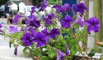 Красиві синии петунії, wikimedia.org