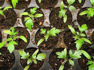 Пікіровка томатів в окремі ємності
