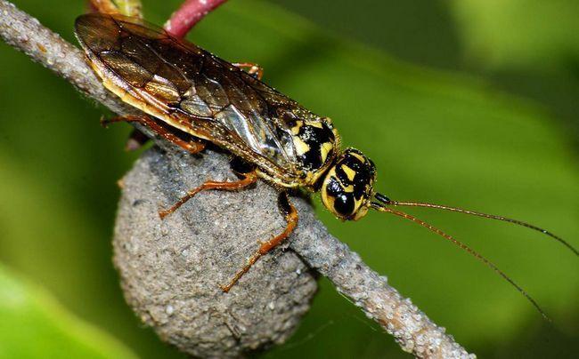 Пильщик-ткач (Pamphiliidae).