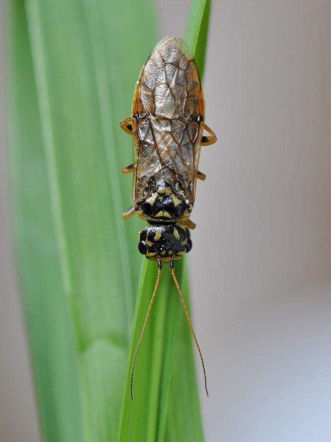 Зірчастий пильщик-ткач (Acantholyda posticalis).
