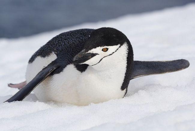 Пінгвіни втратили здатність розрізняти більшу частину смаків