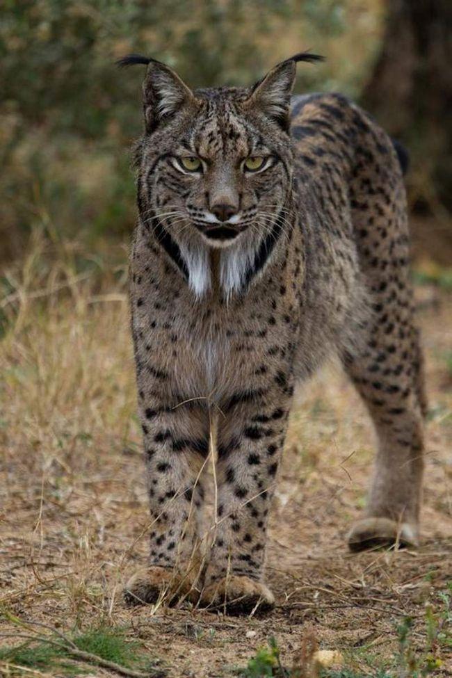 Полює в основному на дрібну дичину - зайців і кроликів, тільки зрідка нападаючи на дитинчат оленів.