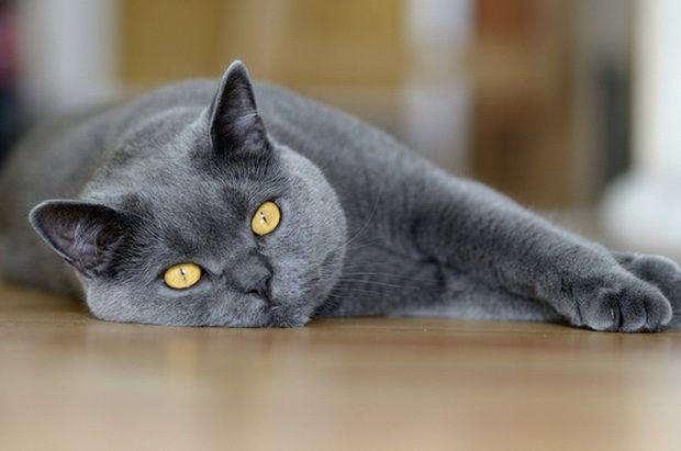 Харчові та енергетичні потреби кішок