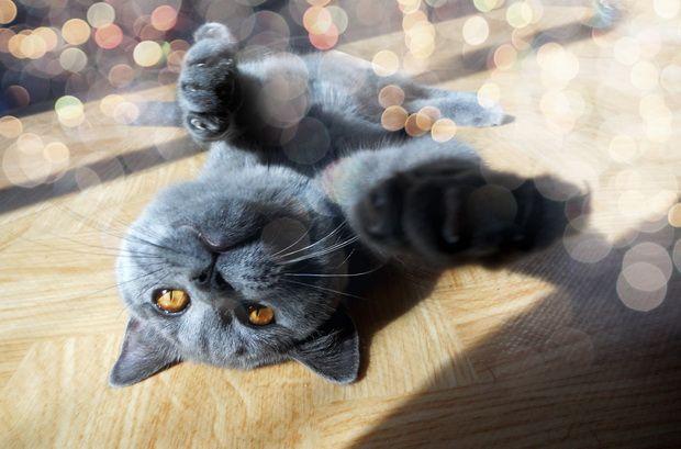 Основи виховання британських кішок (частина-2)