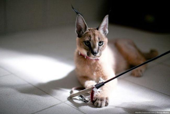 Розплідник диких африканських кішок кішка, розплідник