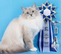розплідник маскарадних котів