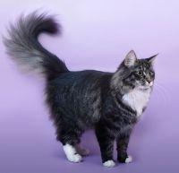 розплідник норвезьких кішок