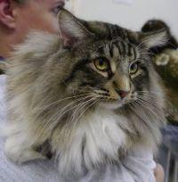 Норвезька лісова кішка з розплідника