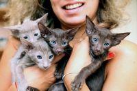 розплідник орієнтальних кішок
