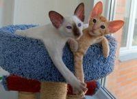 орієнтальні кошенята з розплідника