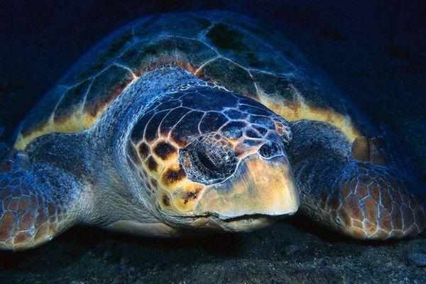 Тихоокеанське поголів`я черепах скоротилося щонайменше на 80%. (Фото Frank Burek / Corbis.)