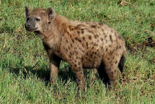 У гієни сильні щелепи.