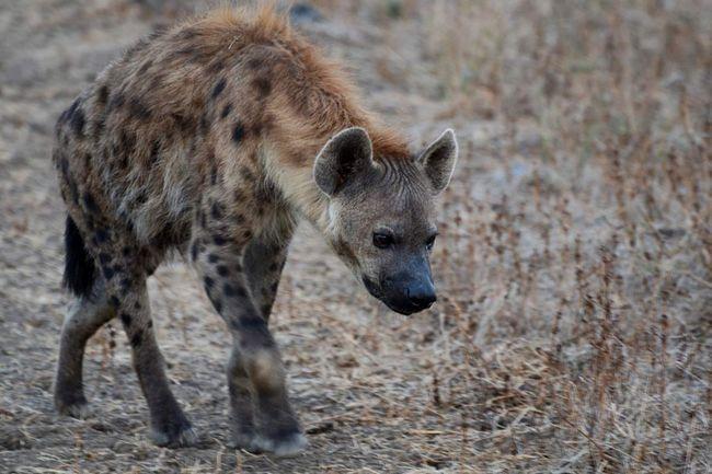 Цей вид гієн живе в природі близько 25 років.